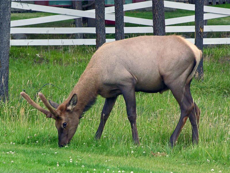 Elk en la ciudad de Jasper