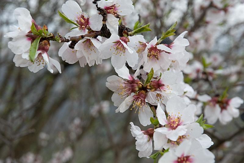 Almendros en floración