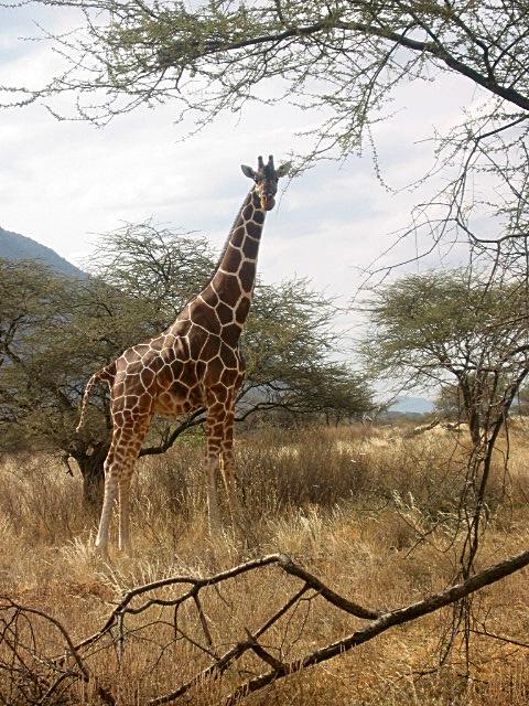 Jirafa de Kenia