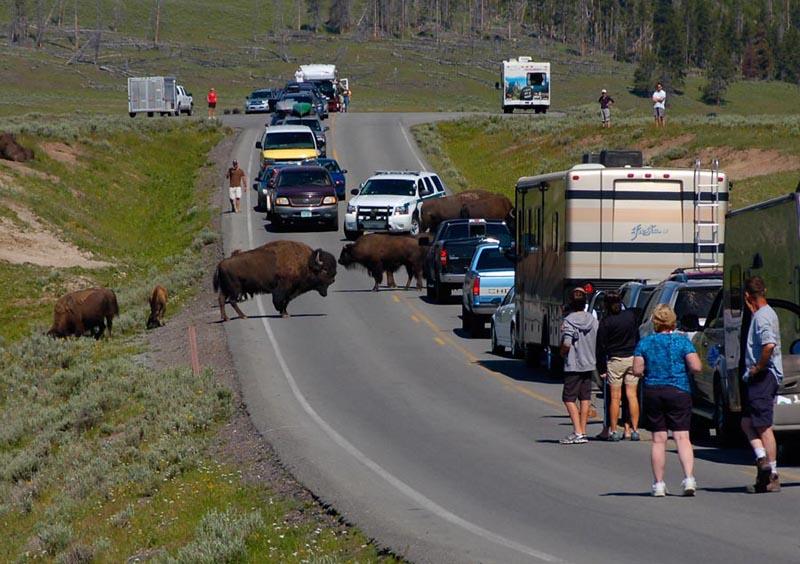 Atasco en Yellowstone