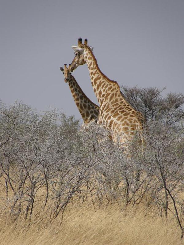 Jirafa en el Parque Nacional de Etosha