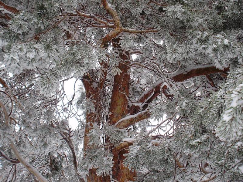La nieve en el bosque