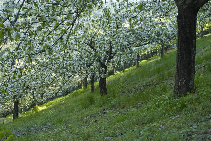 Cerezos En Flor  El Rincón del Trotamundos