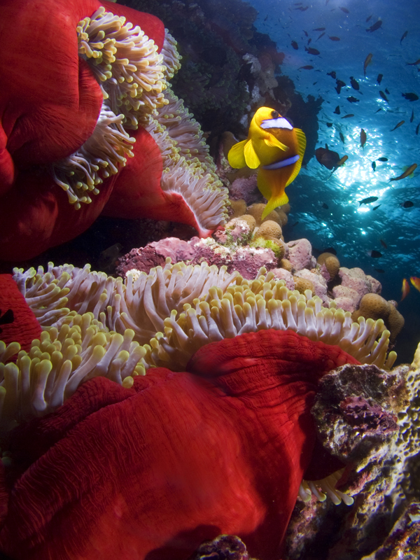 Anémona, Mar Rojo