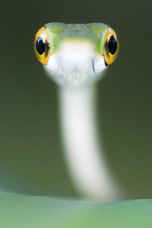 Serpiente Loro