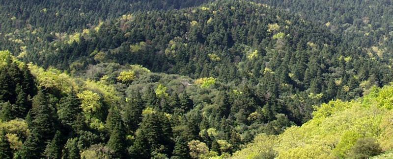 Bosque de pinsapos-Marruecos