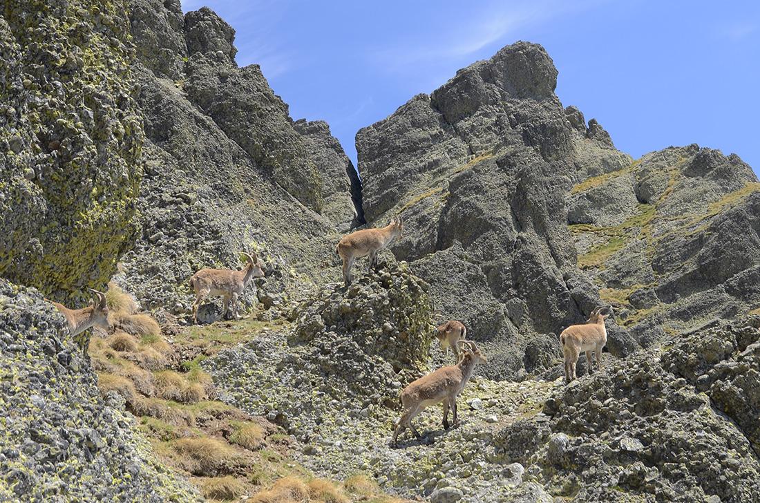 Cabras monteses, Montaña Palentina