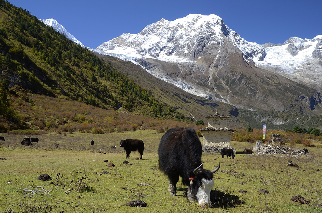 Yaks, cordillera del Himalaya, Nepal
