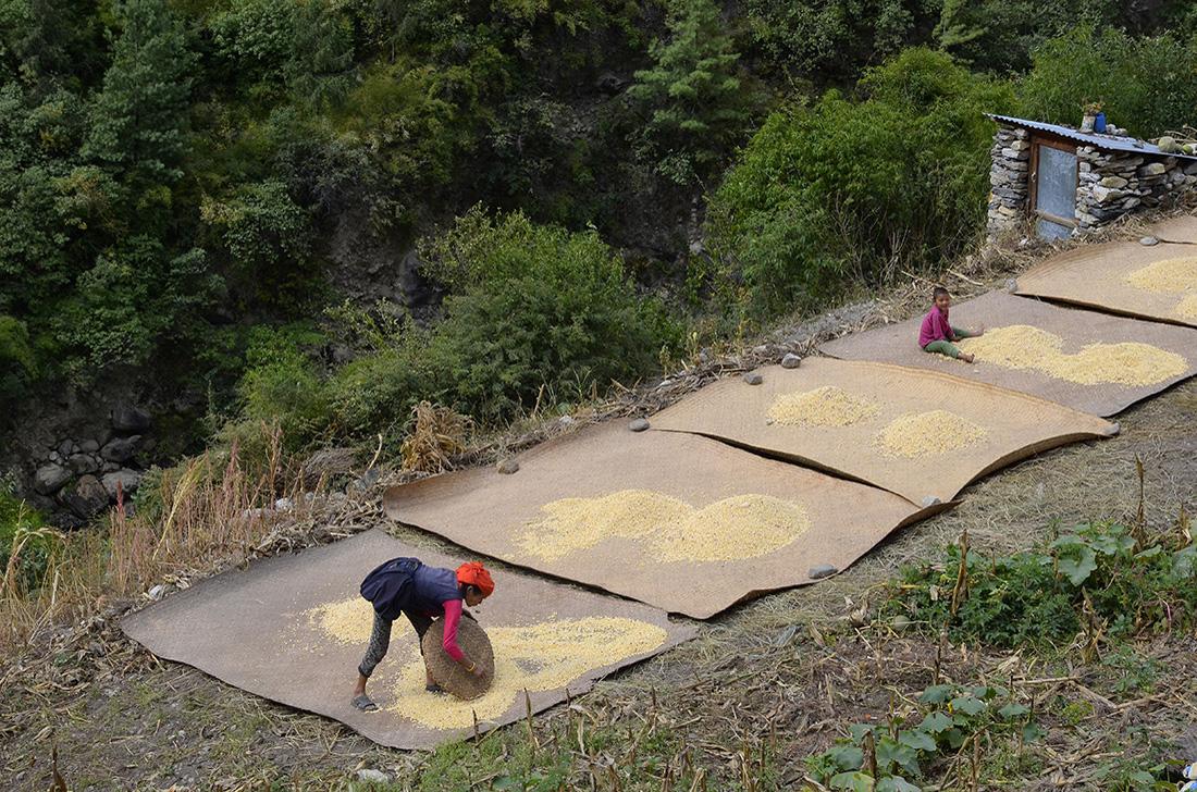 Cosecha de maíz, cordillera del Himalaya, Nepal