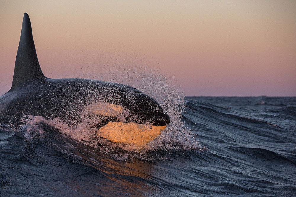 ORCA SURFING - JAN SMIT (PAISES BAJOS) - Mención de Honor: Tema del Año: Zonas FrÍas