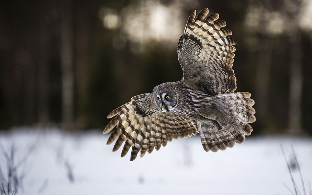 GREAT GREY OWL AT SUNSET - LASSE KURKELA (FINLANDIA) - Mención de Honor: Concursante Novel (menores de 20 años de edad)