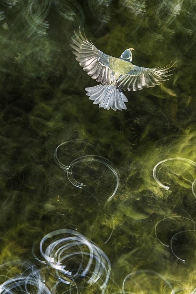 MOTIVOS PICTÓRICOS - DIMAS SERNEGUET (ESPAÑA) - Mención de Honor: Mundo de las Aves