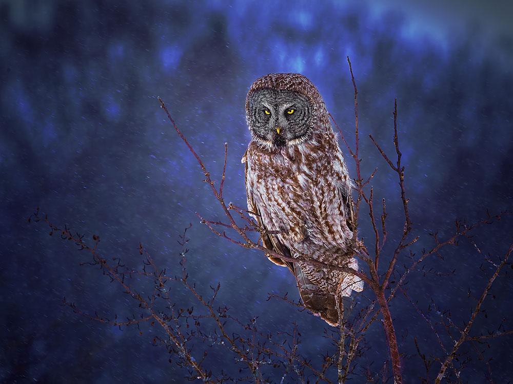 SNOWED IN - RAMESH CHANDAR (CANADÁ) - Mención de Honor: Mundo de las Aves