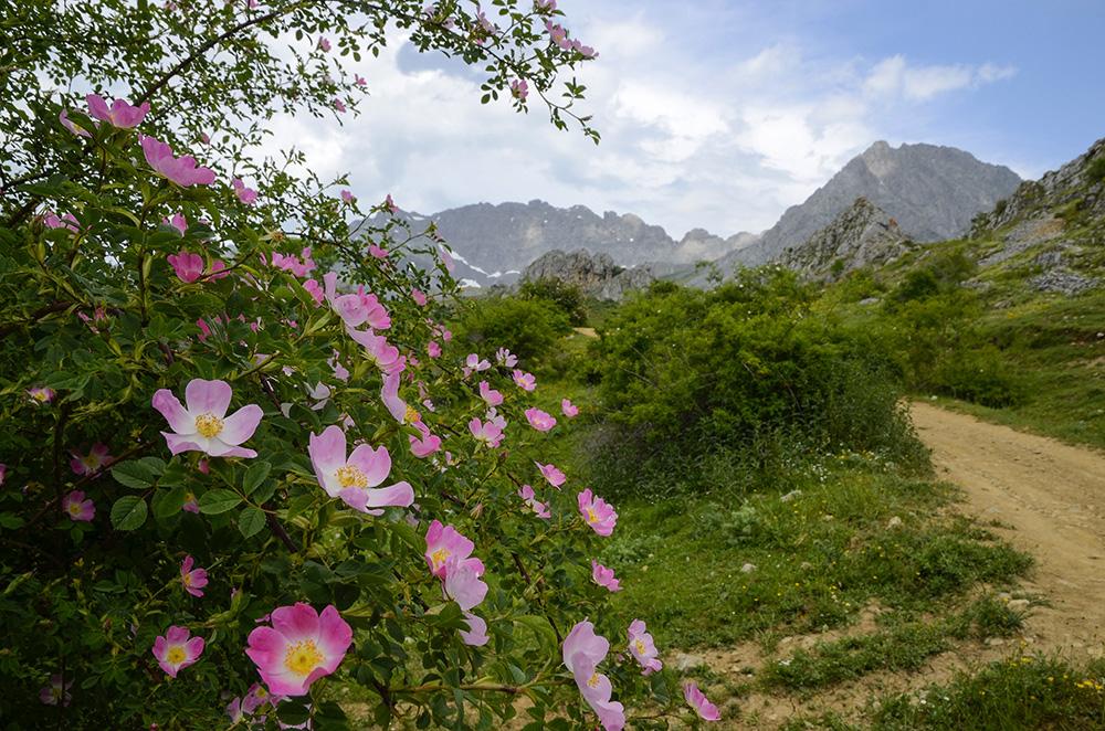 Escaramujo, Fontanes y Ubiña-Cordillera Cantábrica