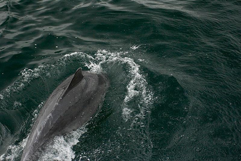Delfin-Galcia