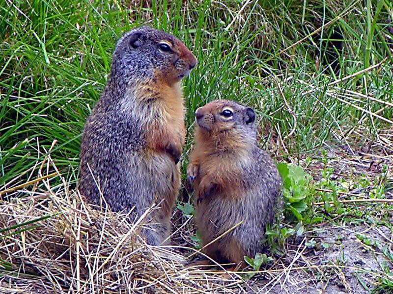 Dos ardillas en Glacier NP
