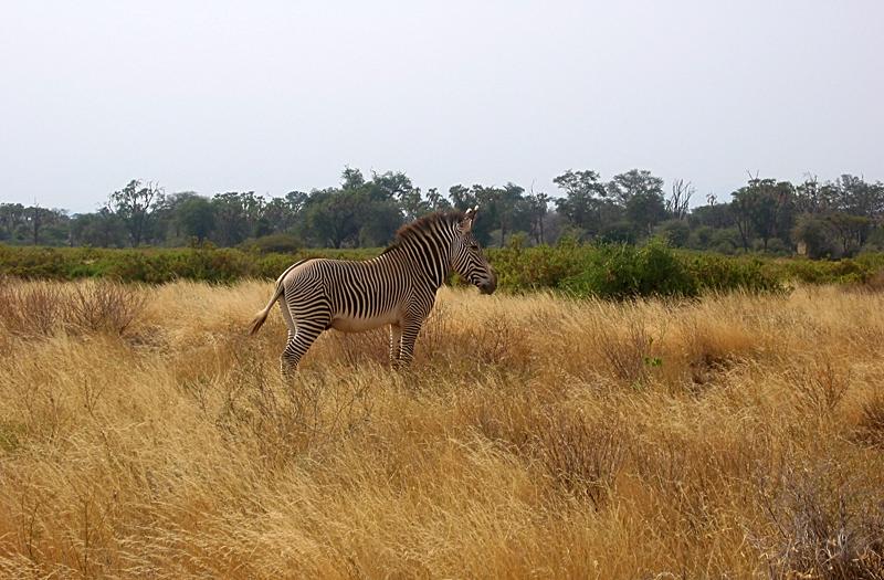 Cebra de Kenia