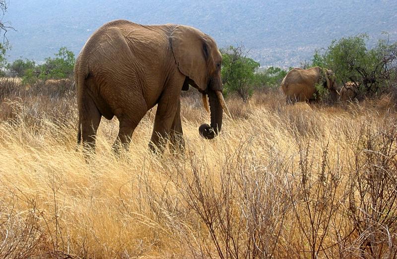 Elefante de Kenia