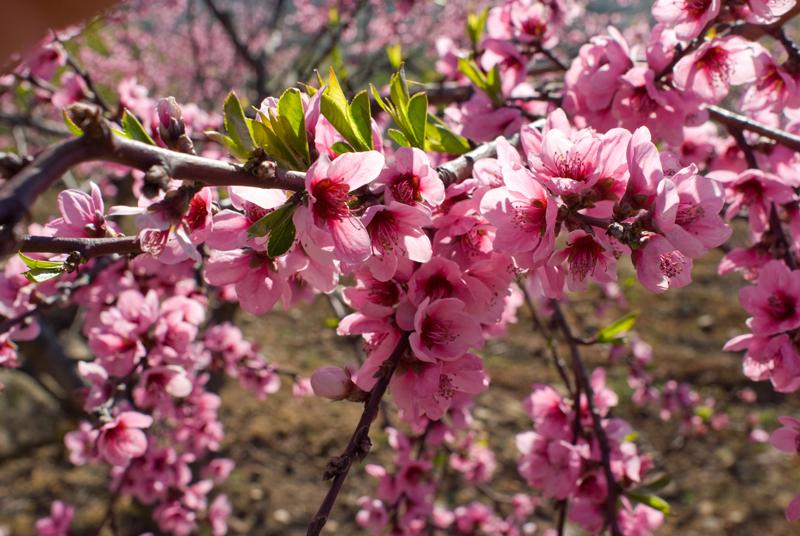 Floración del melocotonero