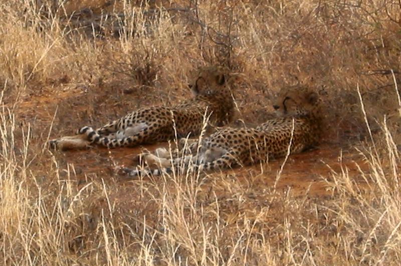 Guepardos de Kenia