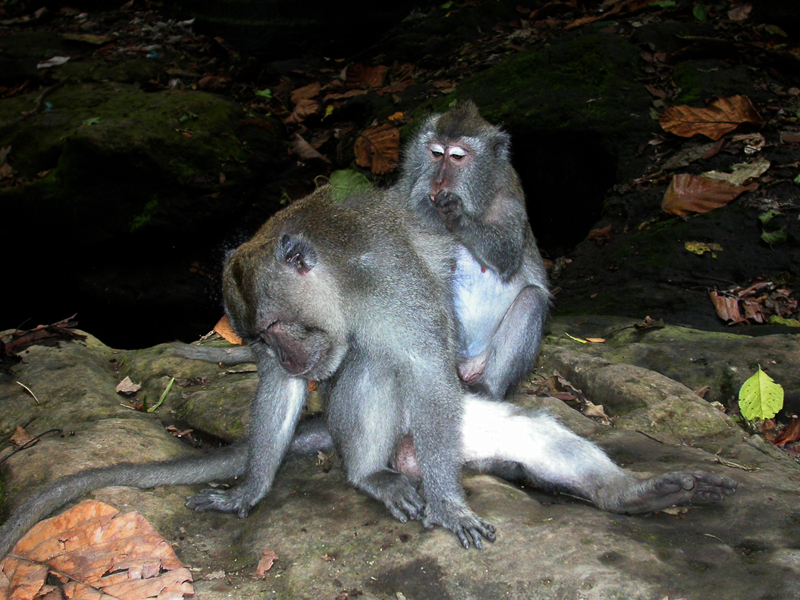 Macaca fascicularis. Bosque de los Monos