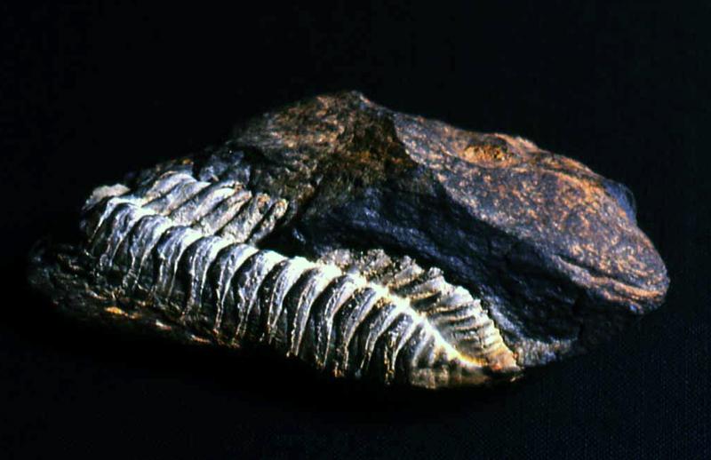 Fósil Trilobites