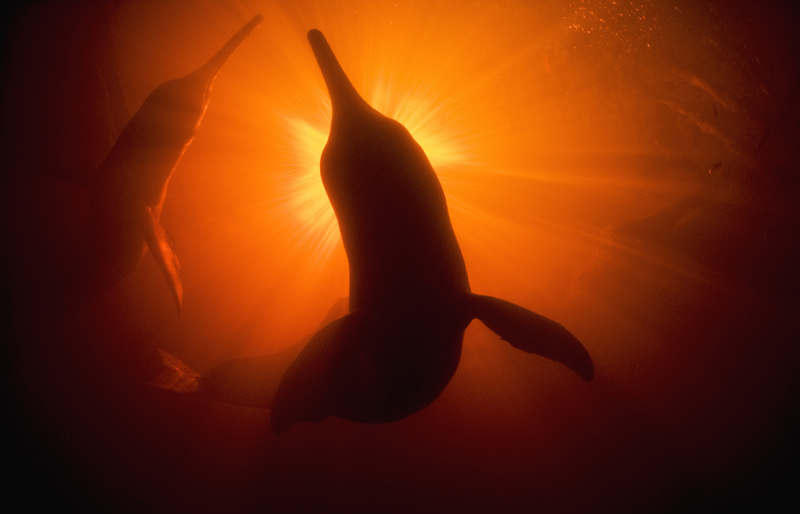 Amazon River Dolphins (Inia geoffrensis) Underwater,Rio Negro, A