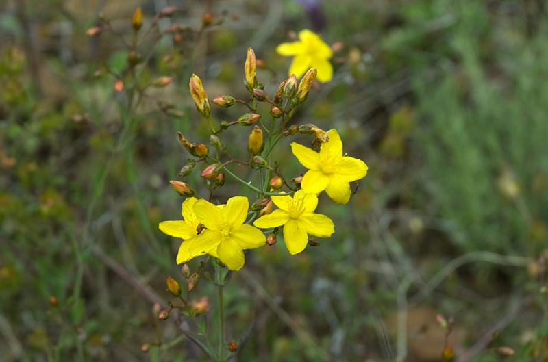 Flores de la sierra de Gata