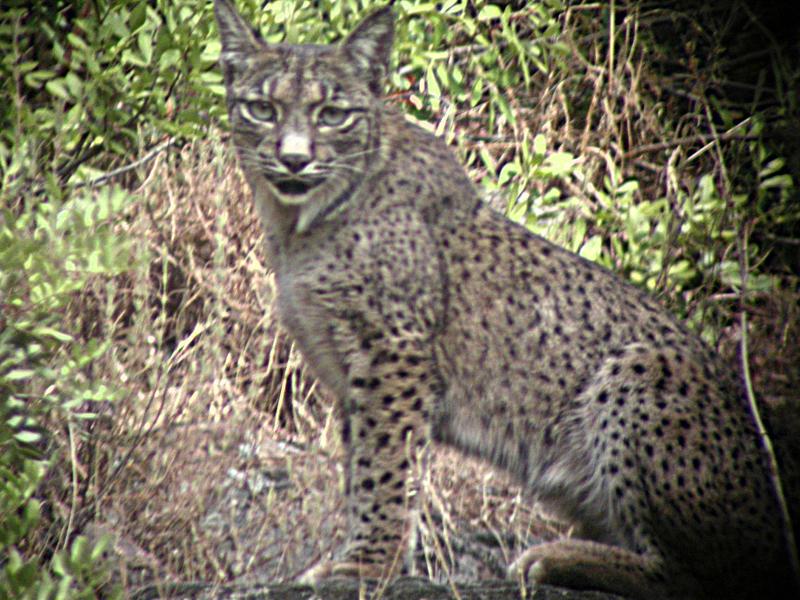 Lynx pardina