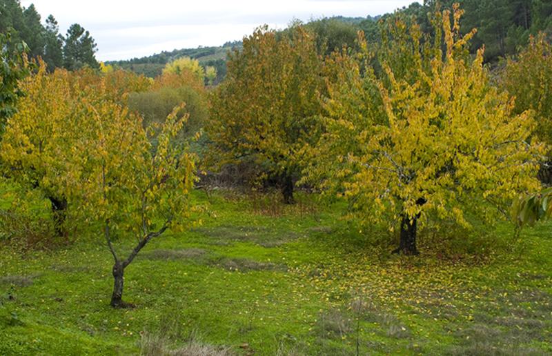 Cerezos. Los colores del otoño