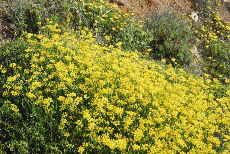 Flora del Cabo de Gata, Almería