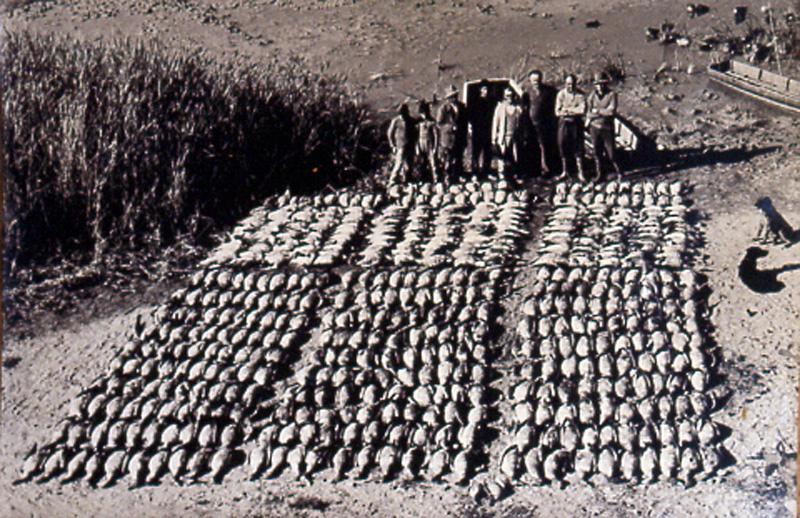 Ánsares abatidos en la cacería del 29 al 31 de octubre de 1964