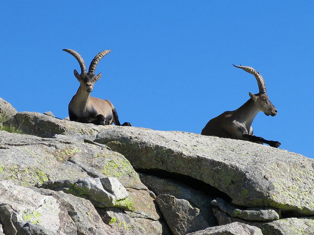 Cabras monteses, Gredos