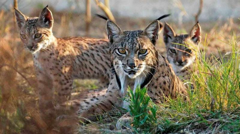 Familia de Linces-Parque Nacional de Doñana