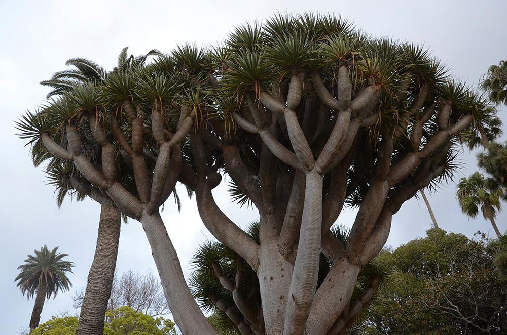 Dragos en Arucas-Gran Canaria