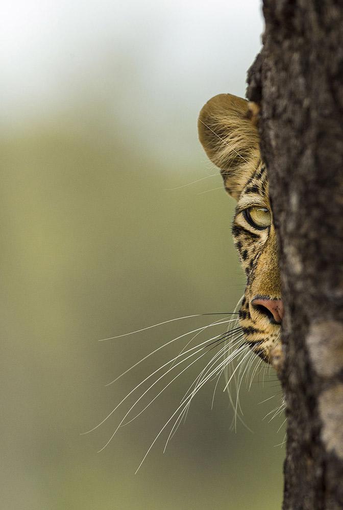 PEEK-A-BOO - VAN COUWENBERG KARIN (BÉLGICA) - Mención de Honor: Mundo Animal