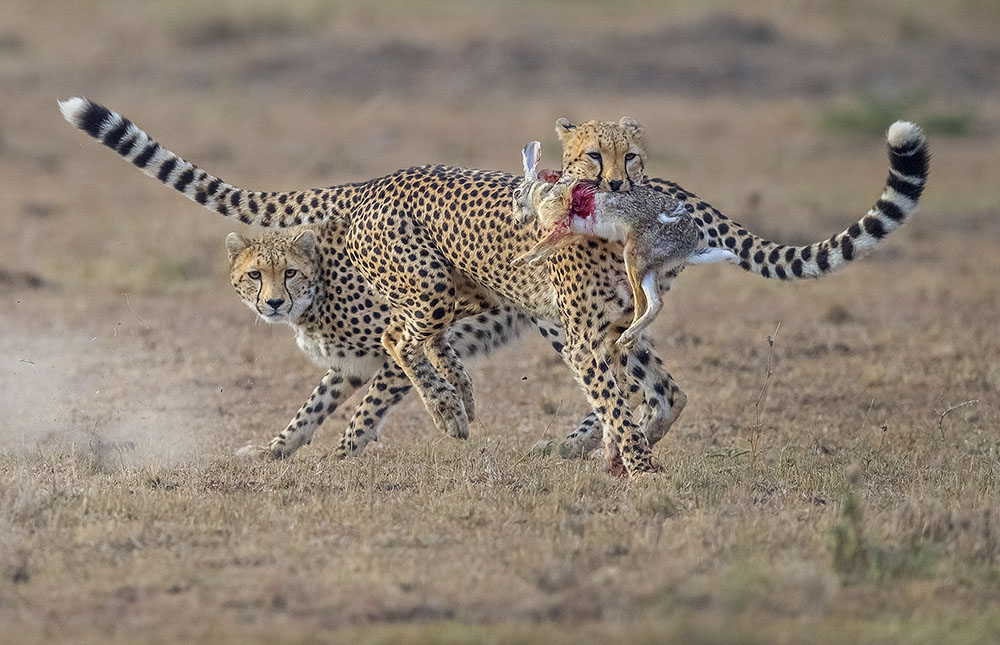 PROTECTING ITS PREY - WENMING TANG (CHINA) - Mención de Honor: Mundo Animal