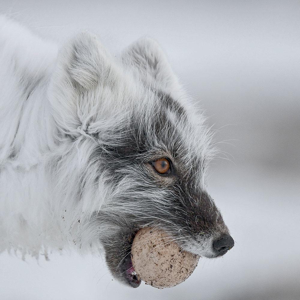 THE ARCTIC FOX WITH AN EGG - SERGEY GORSHKOV (RUSIA) - Mención de Honor: Mundo Animal