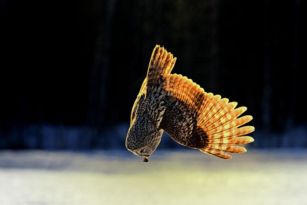 MOUSER - JARI HEIKKINEN (FINLANDIA) - Mención de Honor: Mundo de las Aves
