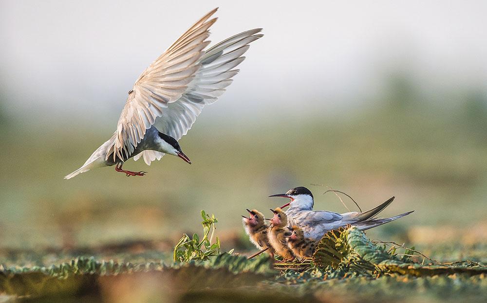 FEEDING TIME - WENMING TANG (CHINA) - Mención de Honor: Mundo de las Aves