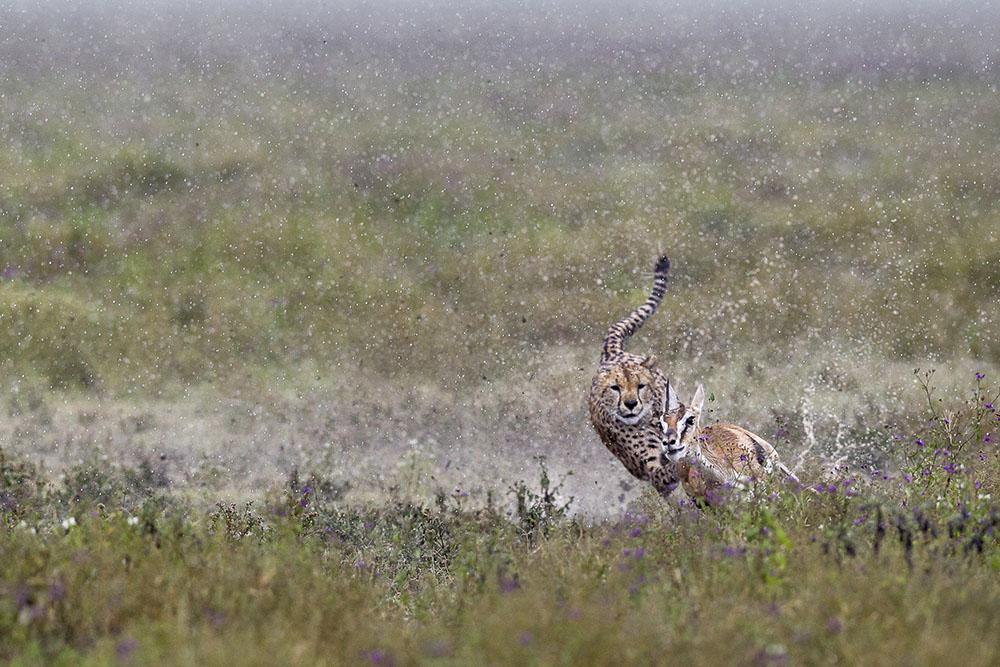 HUNTING IN THE RAIN - PIERLUIGI RIZZATO (ITALIA) - Mención de Honor: Biodiversidad