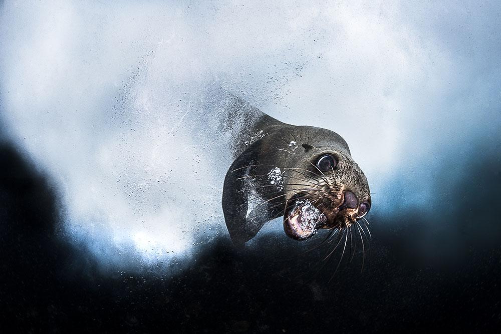 CAPE FUR SEAL - GREG LECOEUR (FRANCIA) - Ganador: Mundo Sumergido