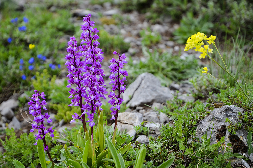 Orquídeas-Cordillera Cantábrica