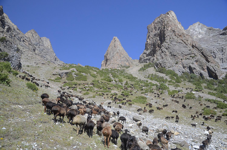 Rebaño en el paso Kara-Suu 3.660m-Kirguistán