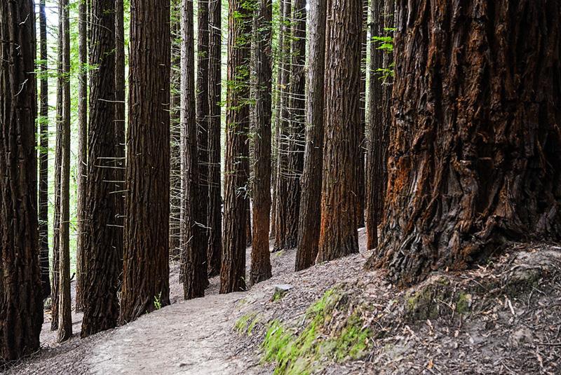 Bosque de las secuoyas-Cantabria