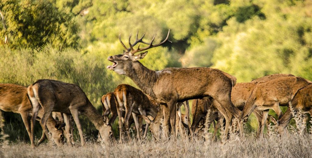 Berrea del ciervo-Manuel-de-la-Varga-López-Cádiz