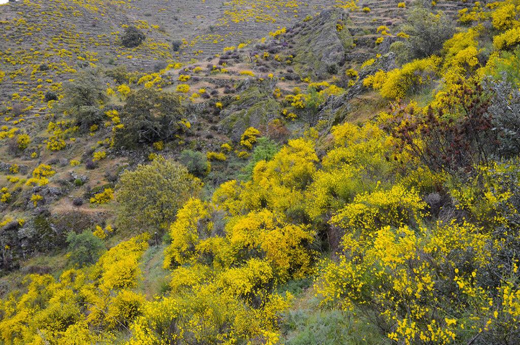 Retama en flor-Arribes del Duero-Salamanca
